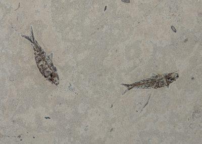 058 ZEM marmi Pesci Fossili ANT DSC04452
